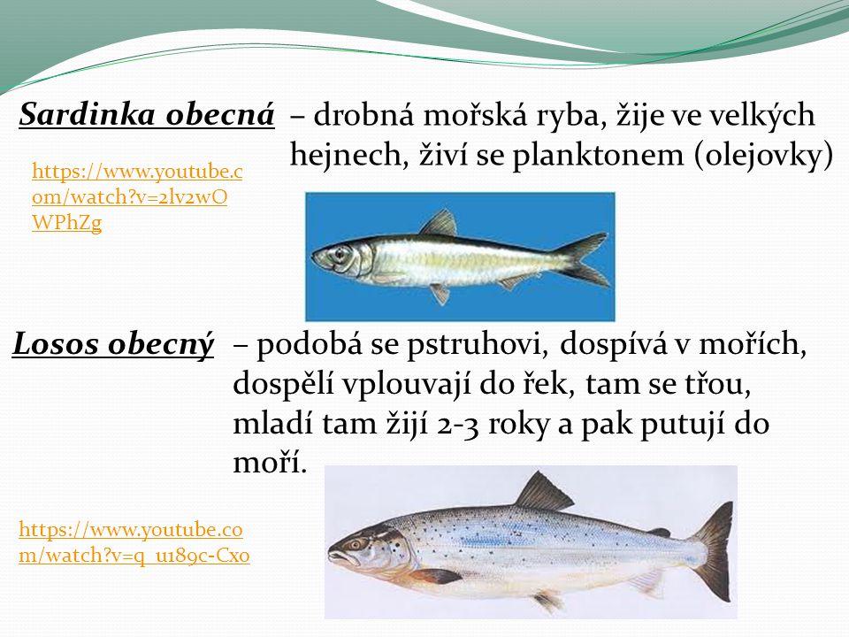 Sardinka obecná – drobná mořská ryba, žije ve velkých hejnech, živí se planktonem (olejovky) https://www.youtube.com/watch v=2lv2wOWPhZg.