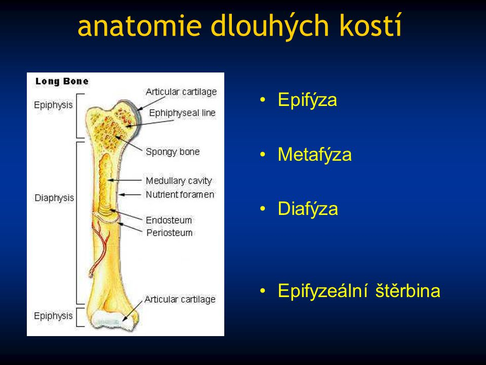 anatomie dlouhých kostí
