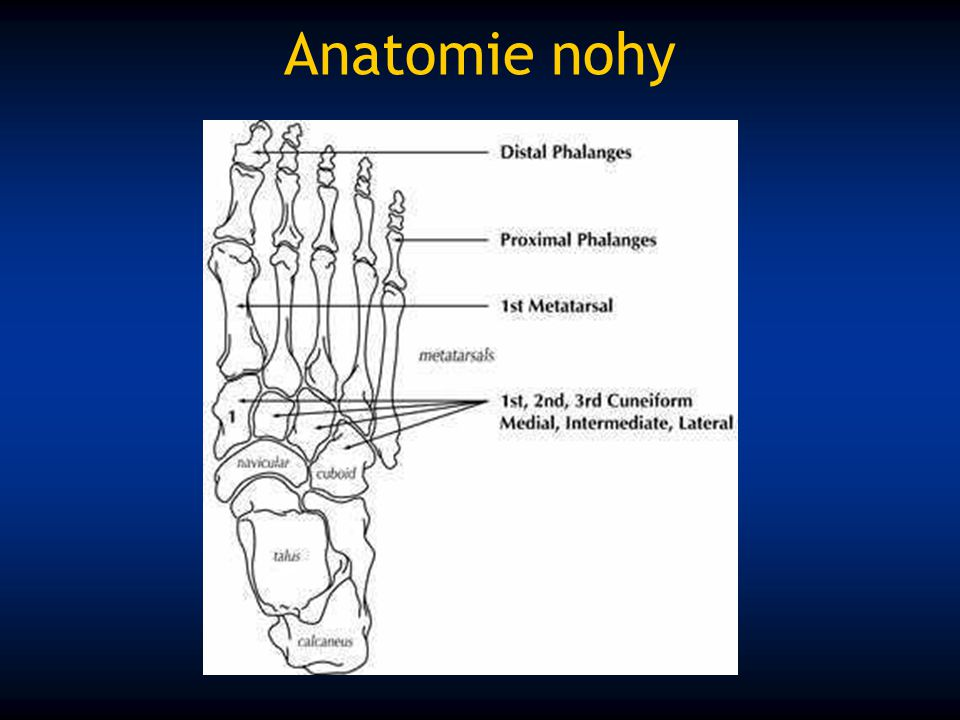 Anatomie nohy