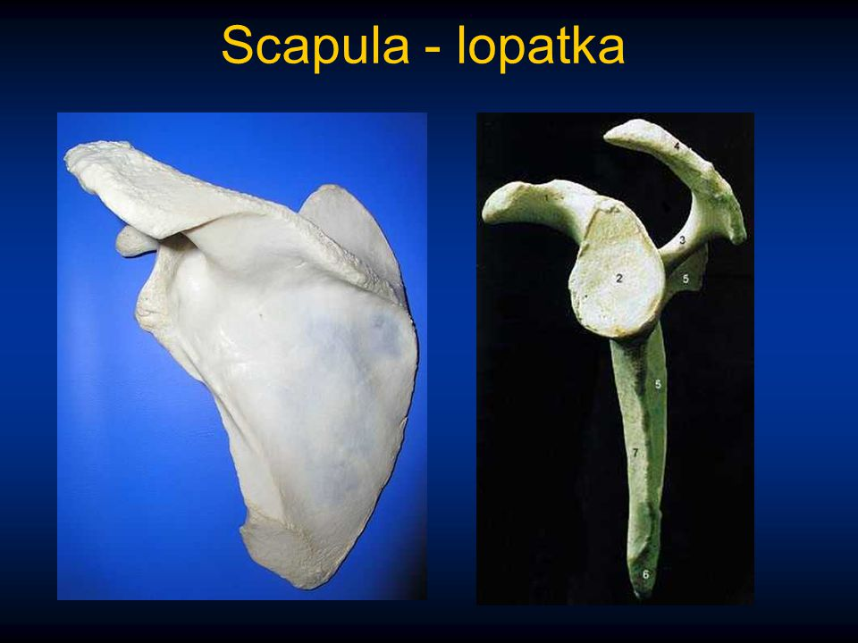 Scapula - lopatka