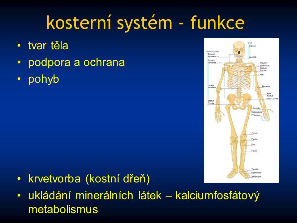 kosterní systém - funkce