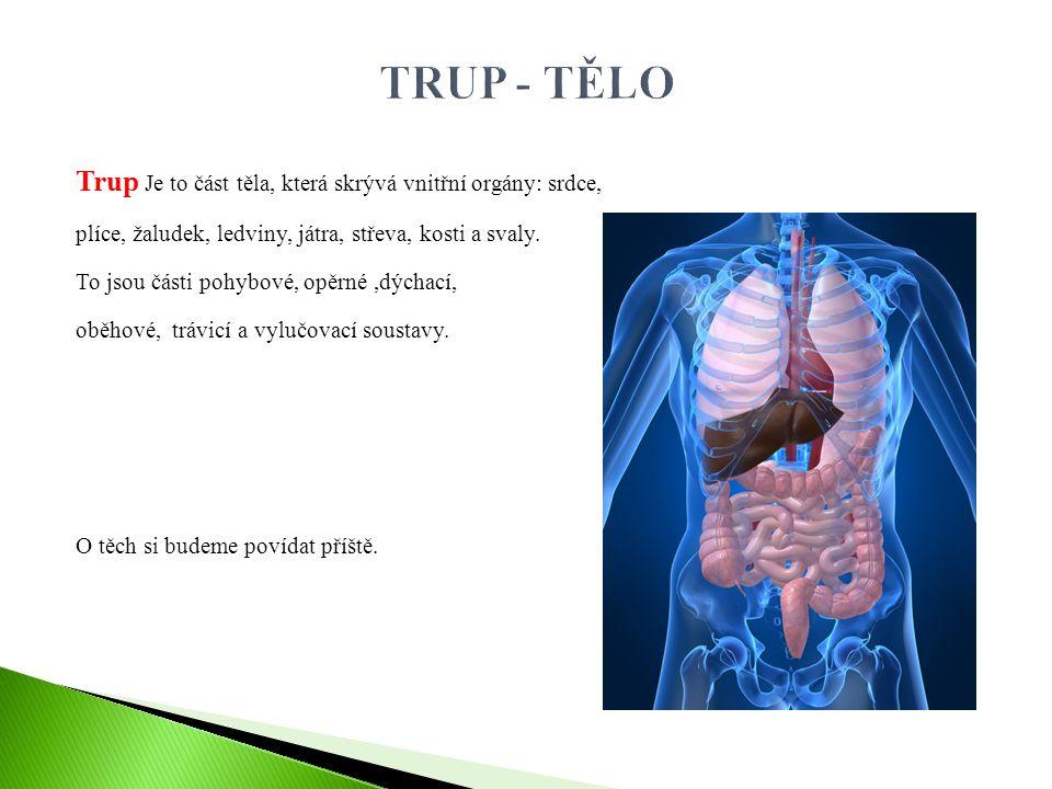 TRUP - TĚLO Trup Je to část těla, která skrývá vnitřní orgány: srdce,