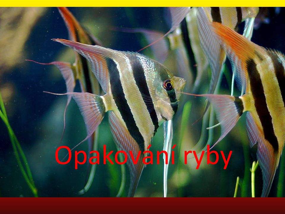 Opakování ryby