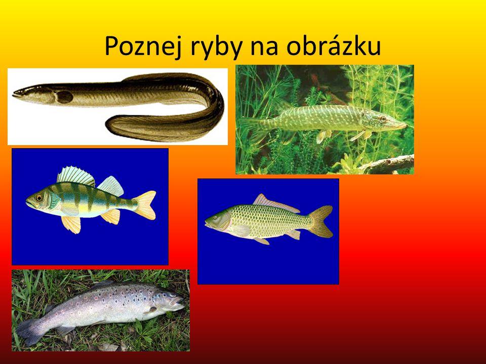 Poznej ryby na obrázku