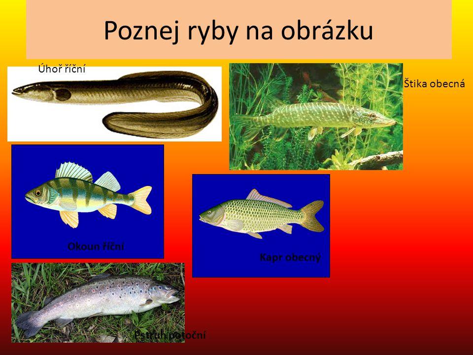Poznej ryby na obrázku Úhoř říční Štika obecná Okoun říční Kapr obecný