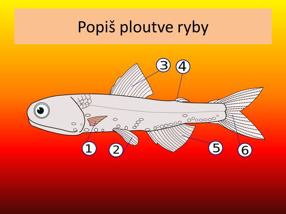 Popiš ploutve ryby