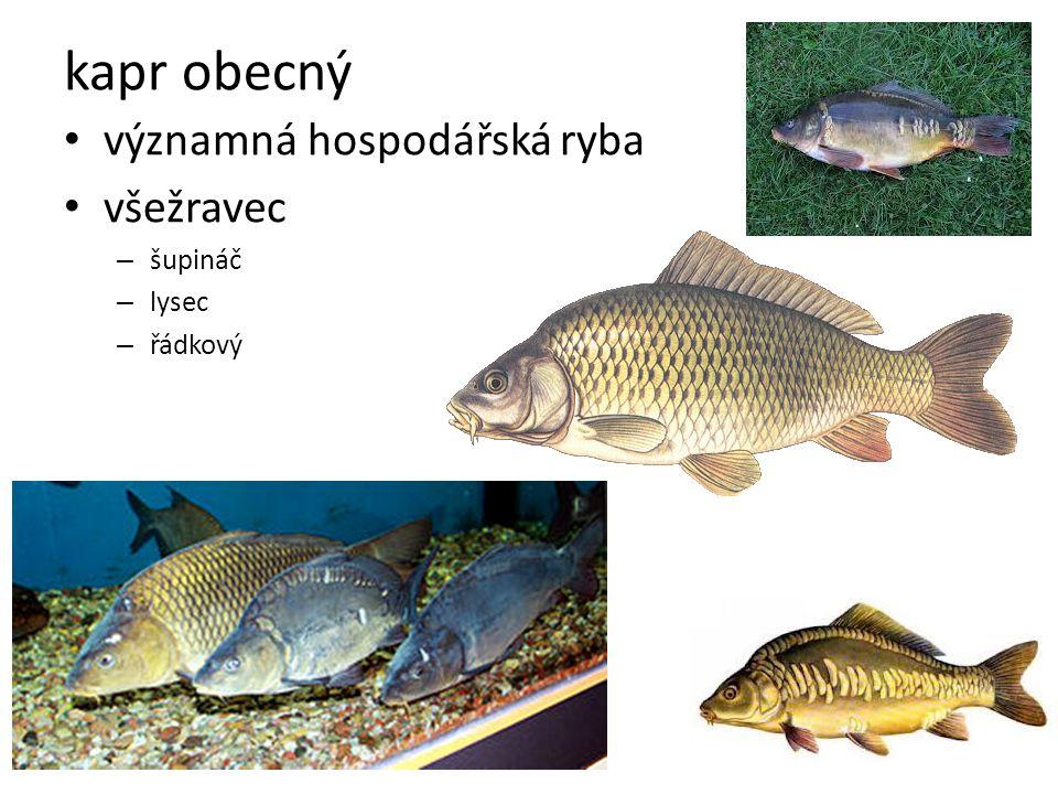 kapr obecný významná hospodářská ryba všežravec šupináč lysec řádkový