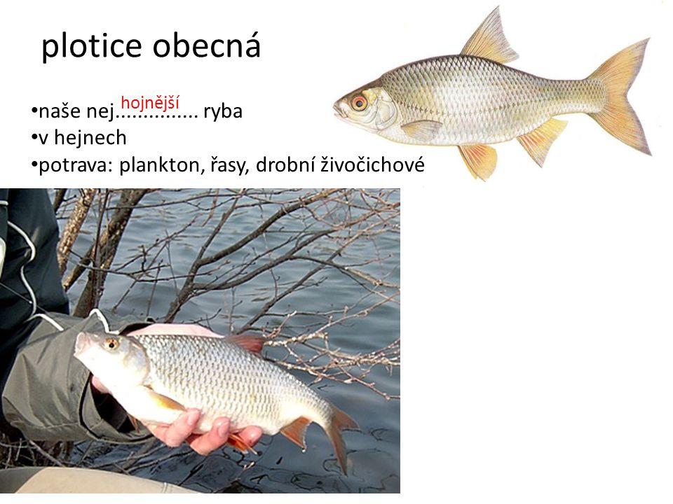 plotice obecná naše nej............... ryba v hejnech