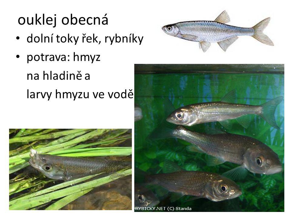 ouklej obecná dolní toky řek, rybníky potrava: hmyz na hladině a