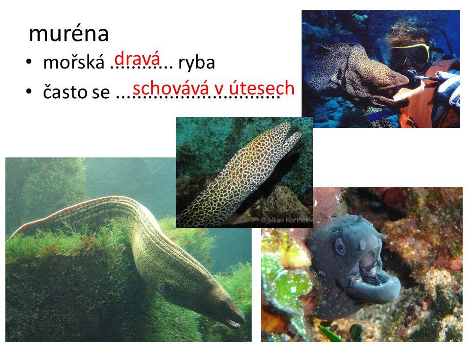 muréna dravá mořská ............ ryba