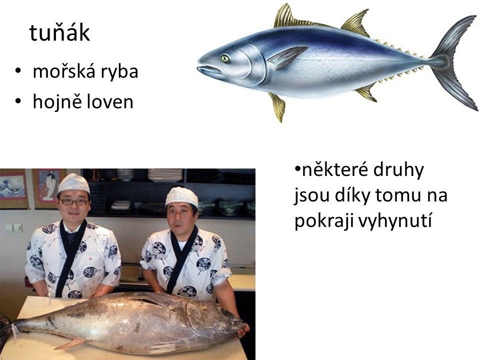 tuňák mořská ryba hojně loven některé druhy