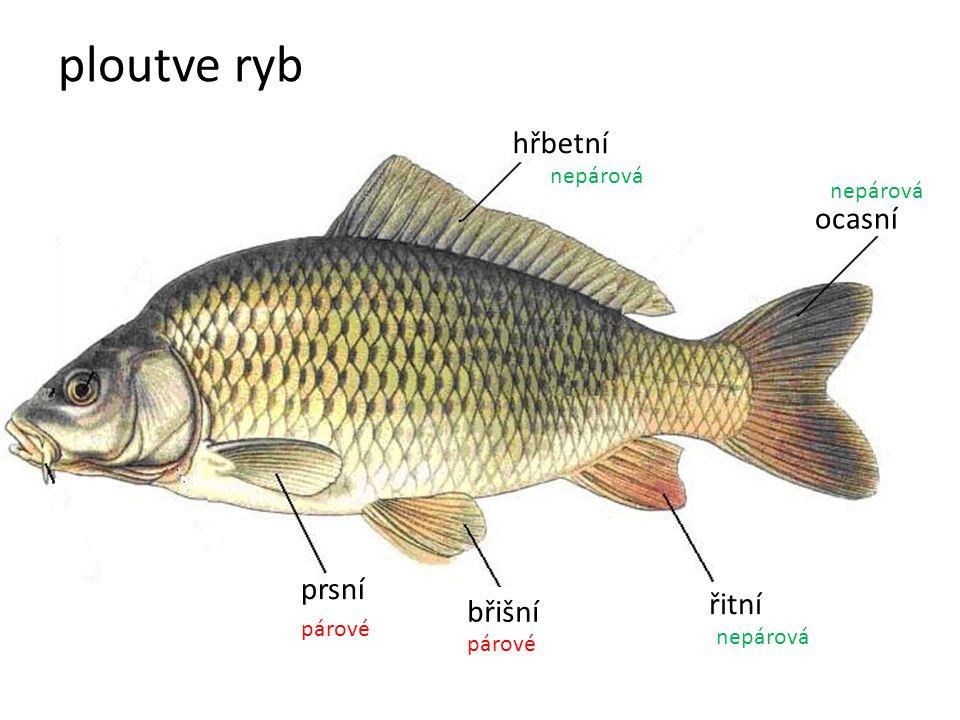 ploutve ryb hřbetní ocasní prsní řitní břišní nepárová nepárová párové