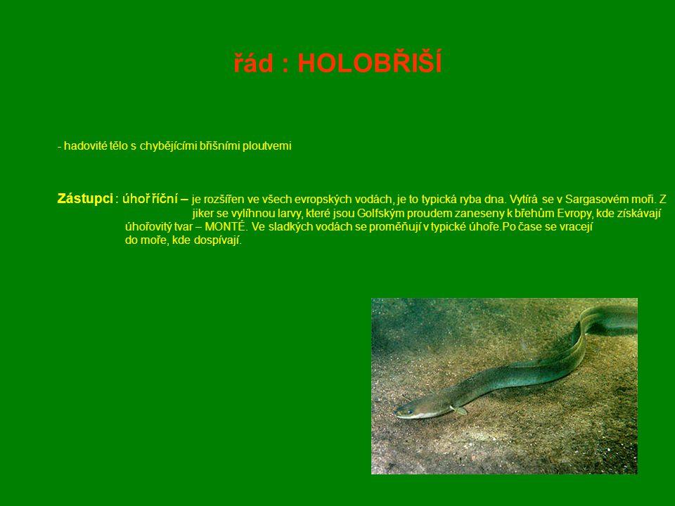 řád : HOLOBŘIŠÍ hadovité tělo s chybějícími břišními ploutvemi.