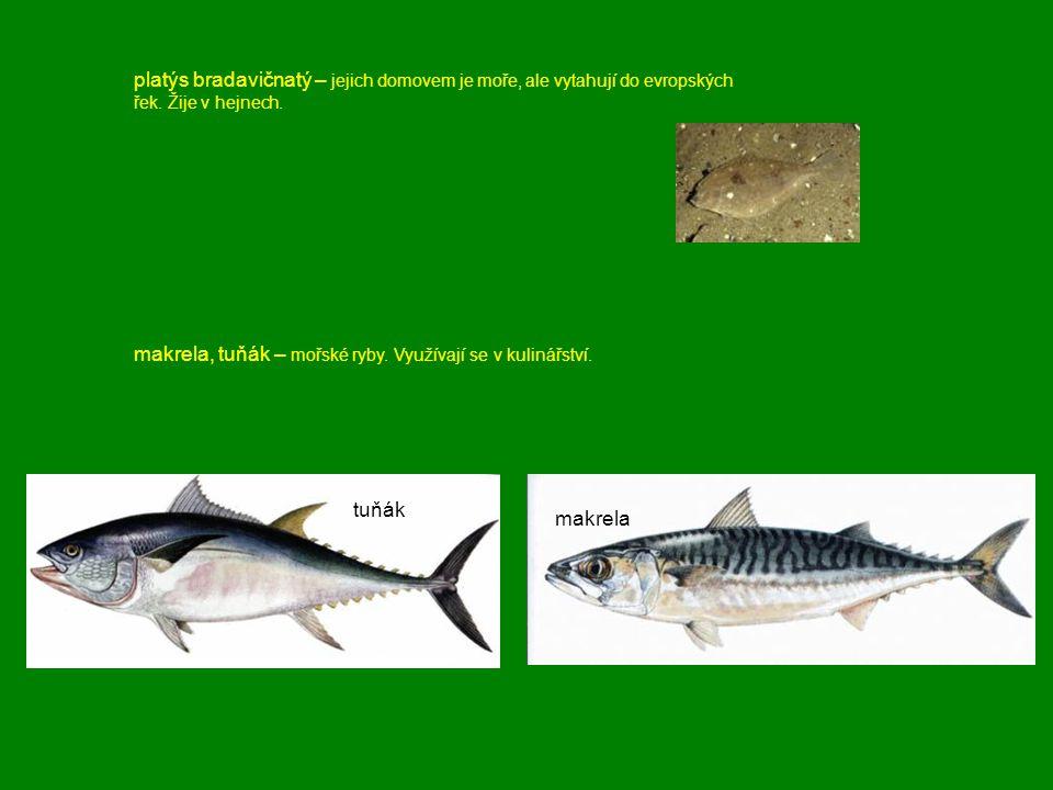 platýs bradavičnatý – jejich domovem je moře, ale vytahují do evropských řek. Žije v hejnech.