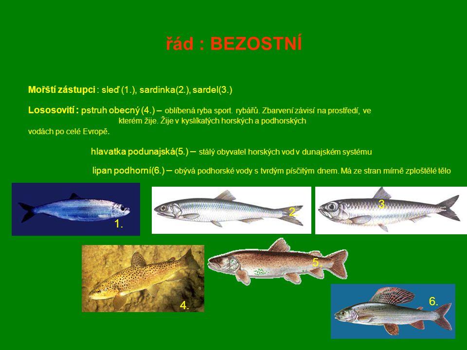řád : BEZOSTNÍ Mořští zástupci : sleď (1.), sardinka(2.), sardel(3.)