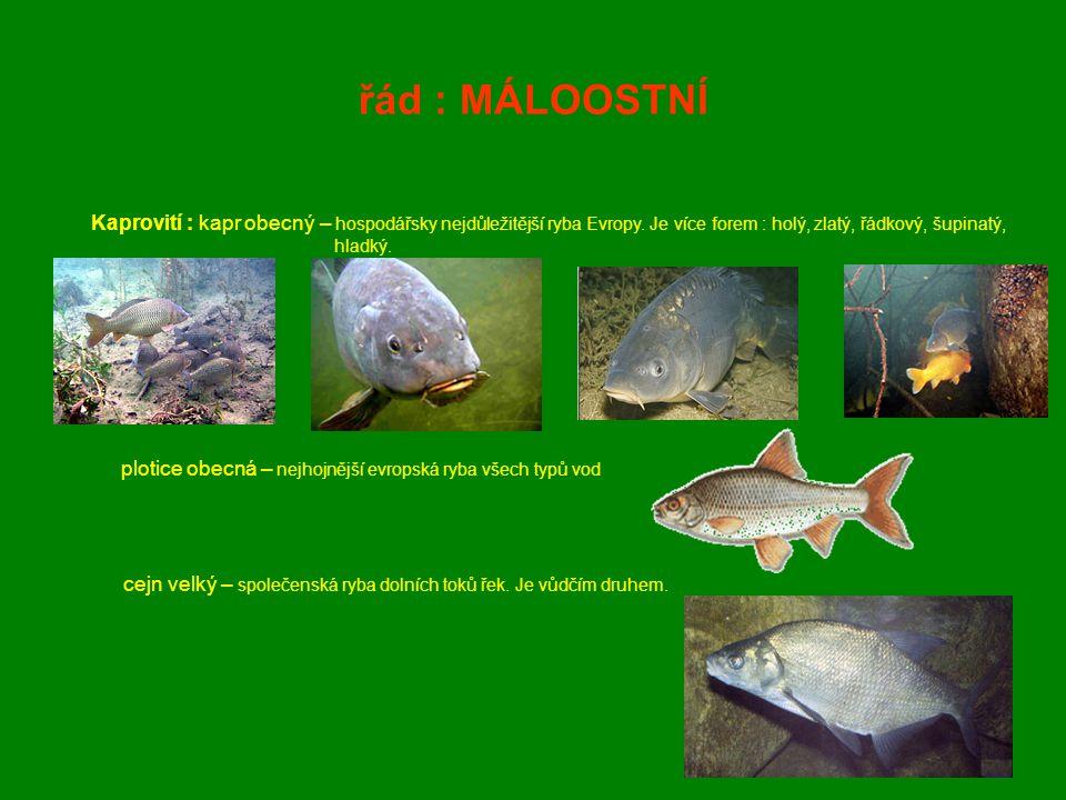 řád : MÁLOOSTNÍ Kaprovití : kapr obecný – hospodářsky nejdůležitější ryba Evropy. Je více forem : holý, zlatý, řádkový, šupinatý, hladký.