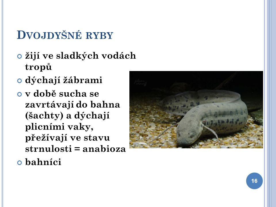 Dvojdyšné ryby žijí ve sladkých vodách tropů dýchají žábrami