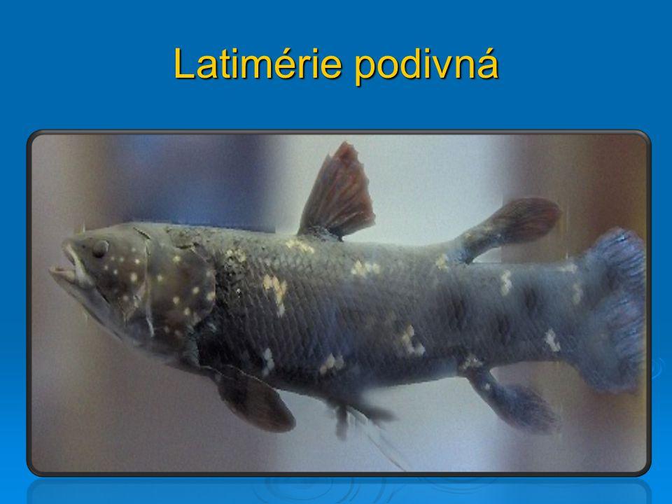 Latimérie podivná