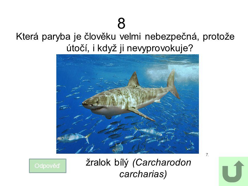 žralok bílý (Carcharodon carcharias)