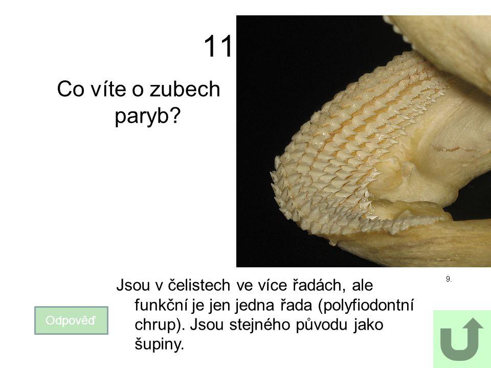 11 Co víte o zubech paryb Jsou v čelistech ve více řadách, ale funkční je jen jedna řada (polyfiodontní chrup). Jsou stejného původu jako šupiny.