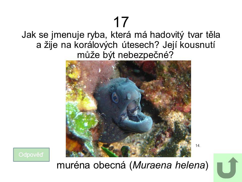 muréna obecná (Muraena helena)
