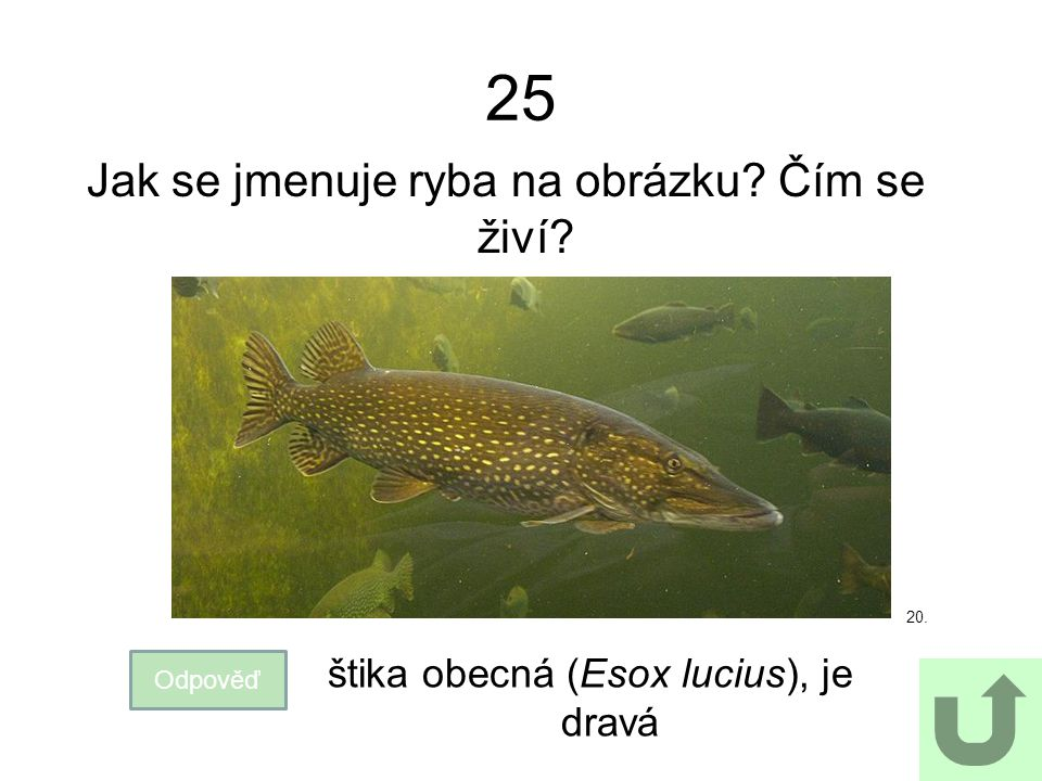 25 Jak se jmenuje ryba na obrázku Čím se živí
