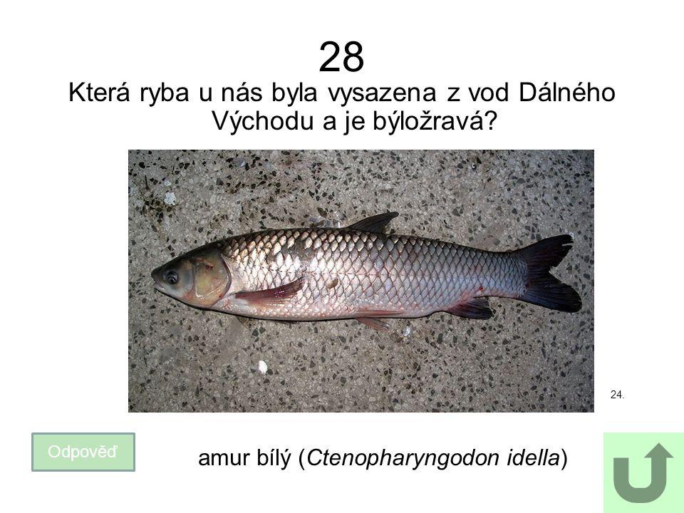 Která ryba u nás byla vysazena z vod Dálného Východu a je býložravá