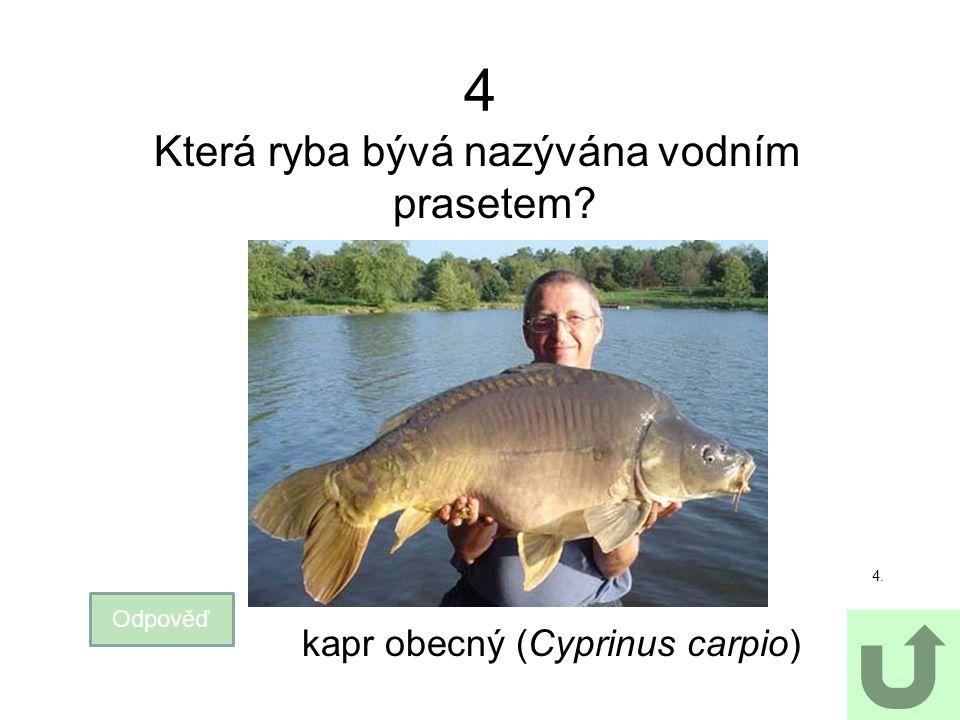 Která ryba bývá nazývána vodním prasetem