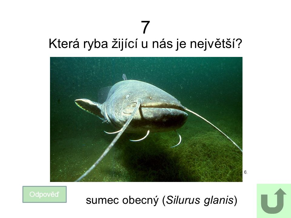 7 Která ryba žijící u nás je největší sumec obecný (Silurus glanis)