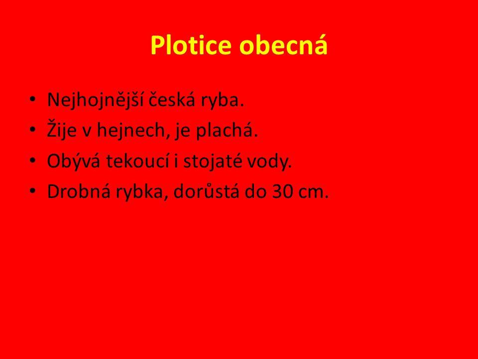 Plotice obecná Nejhojnější česká ryba. Žije v hejnech, je plachá.