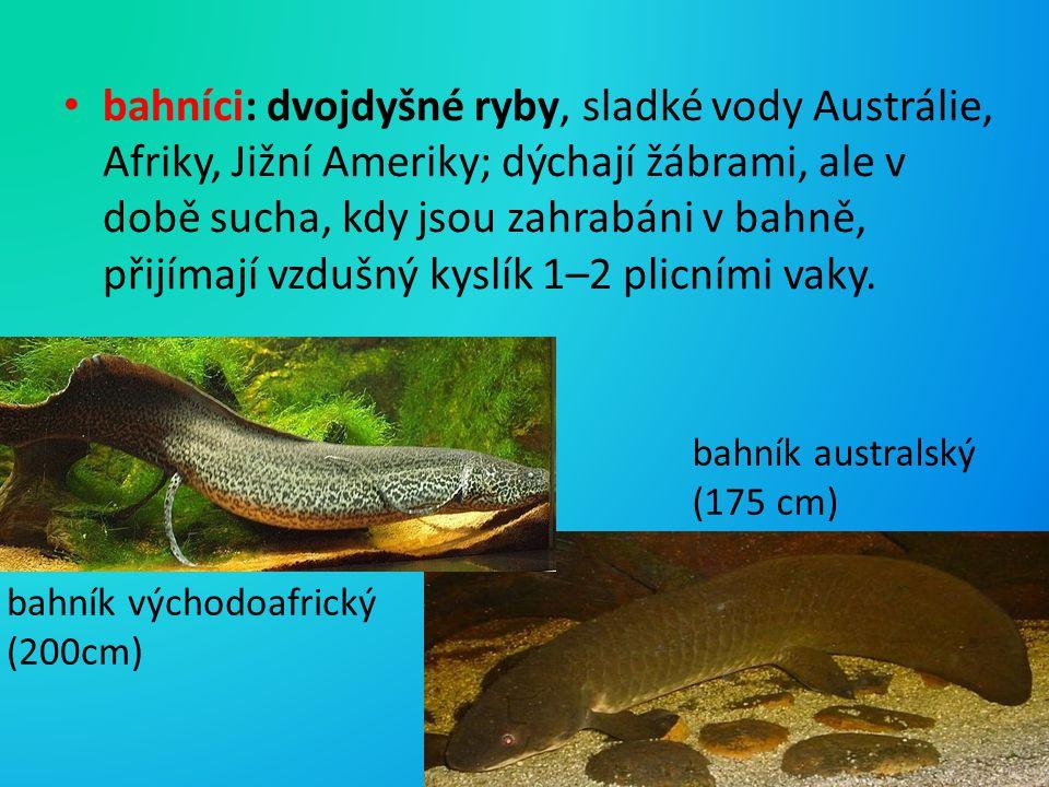bahníci: dvojdyšné ryby, sladké vody Austrálie, Afriky, Jižní Ameriky; dýchají žábrami, ale v době sucha, kdy jsou zahrabáni v bahně, přijímají vzdušný kyslík 1–2 plicními vaky.