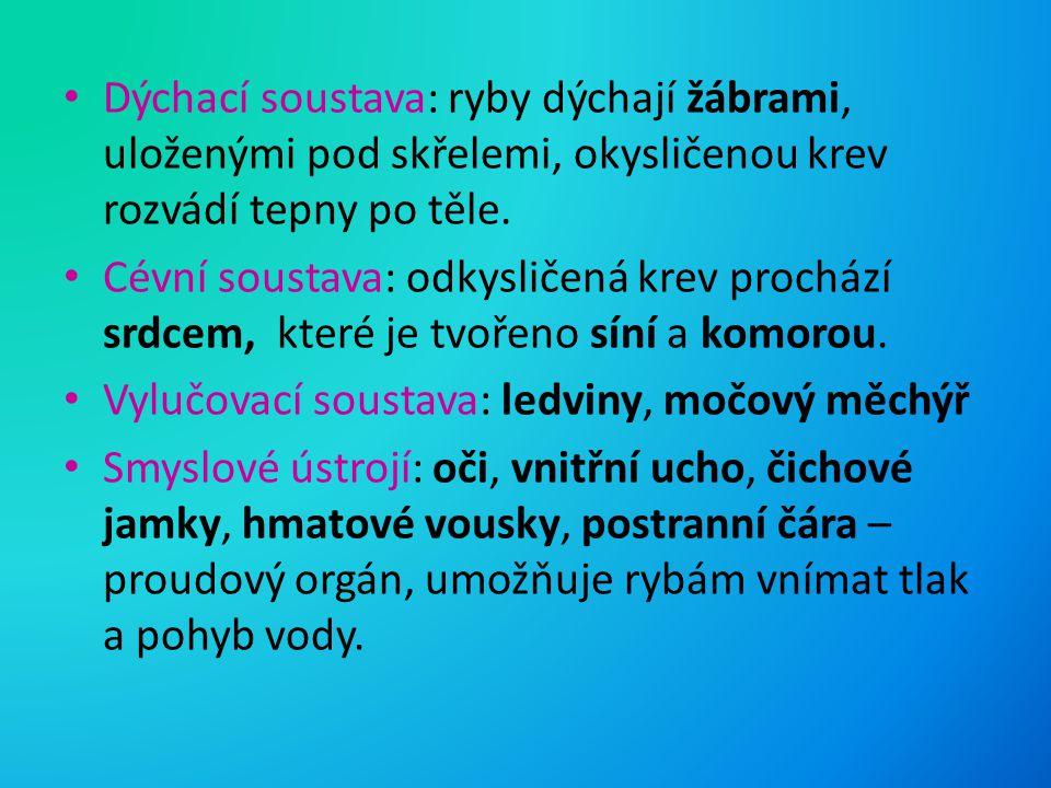 Dýchací soustava: ryby dýchají žábrami, uloženými pod skřelemi, okysličenou krev rozvádí tepny po těle.