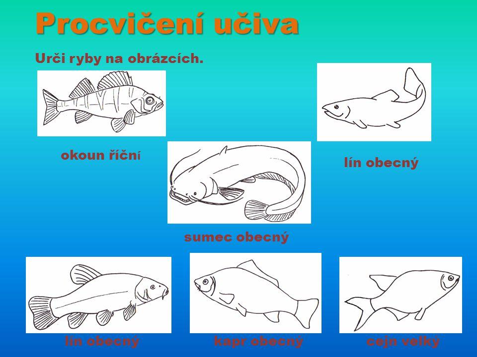 Procvičení učiva Urči ryby na obrázcích. okoun říční lín obecný