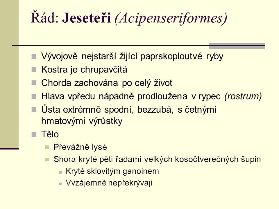 Řád: Jeseteři (Acipenseriformes)