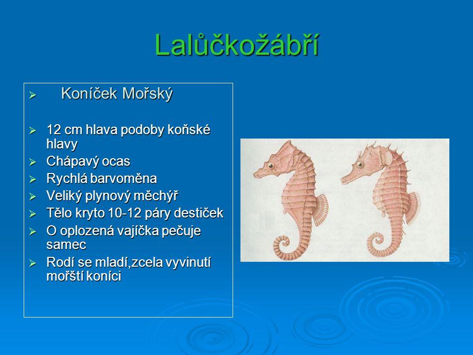 Lalůčkožábří Koníček Mořský 12 cm hlava podoby koňské hlavy