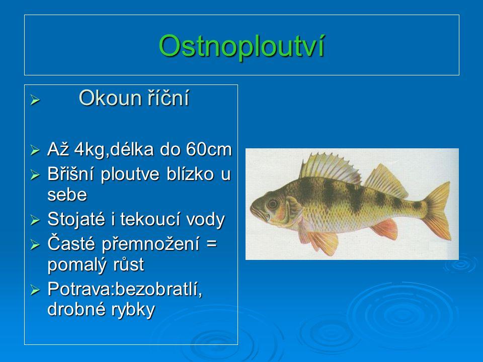 Ostnoploutví Okoun říční Až 4kg,délka do 60cm