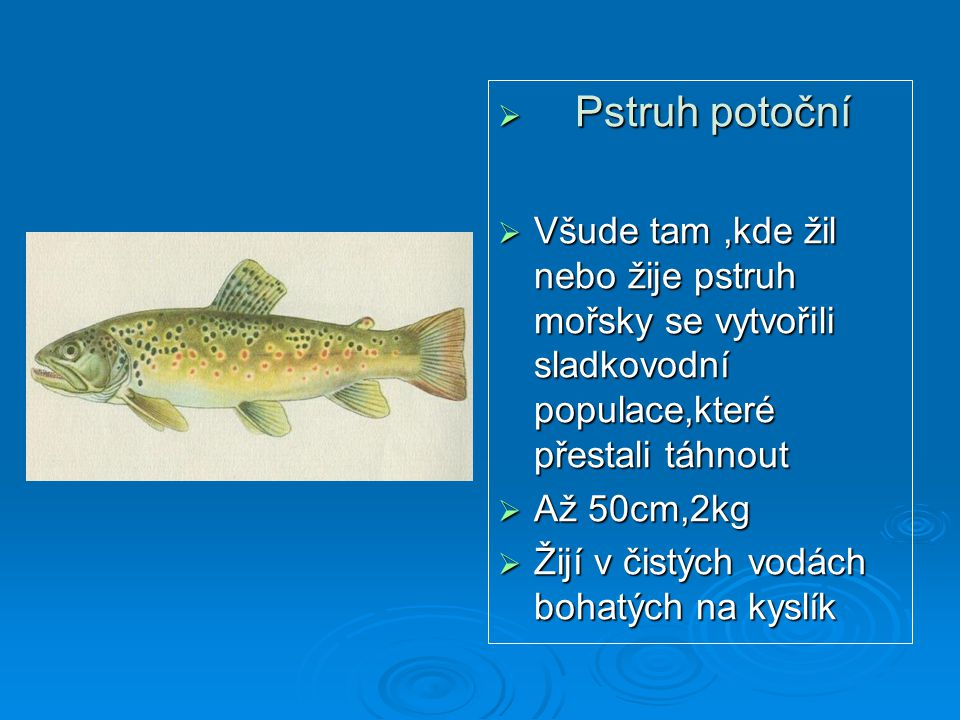Pstruh potoční Všude tam ,kde žil nebo žije pstruh mořsky se vytvořili sladkovodní populace,které přestali táhnout.
