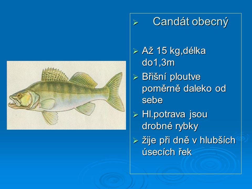Candát obecný Až 15 kg,délka do1,3m. Břišní ploutve poměrně daleko od sebe. Hl.potrava jsou drobné rybky.
