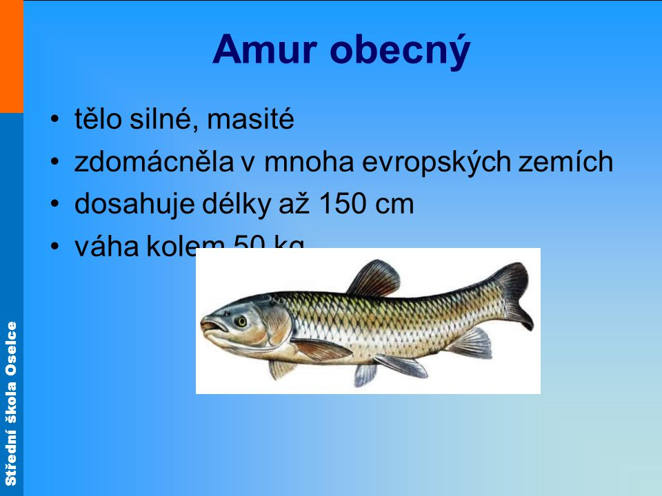 Amur obecný tělo silné, masité zdomácněla v mnoha evropských zemích
