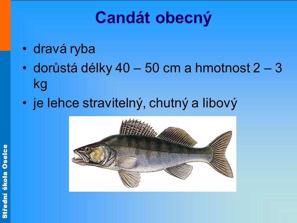 Candát obecný dravá ryba dorůstá délky 40 – 50 cm a hmotnost 2 – 3 kg