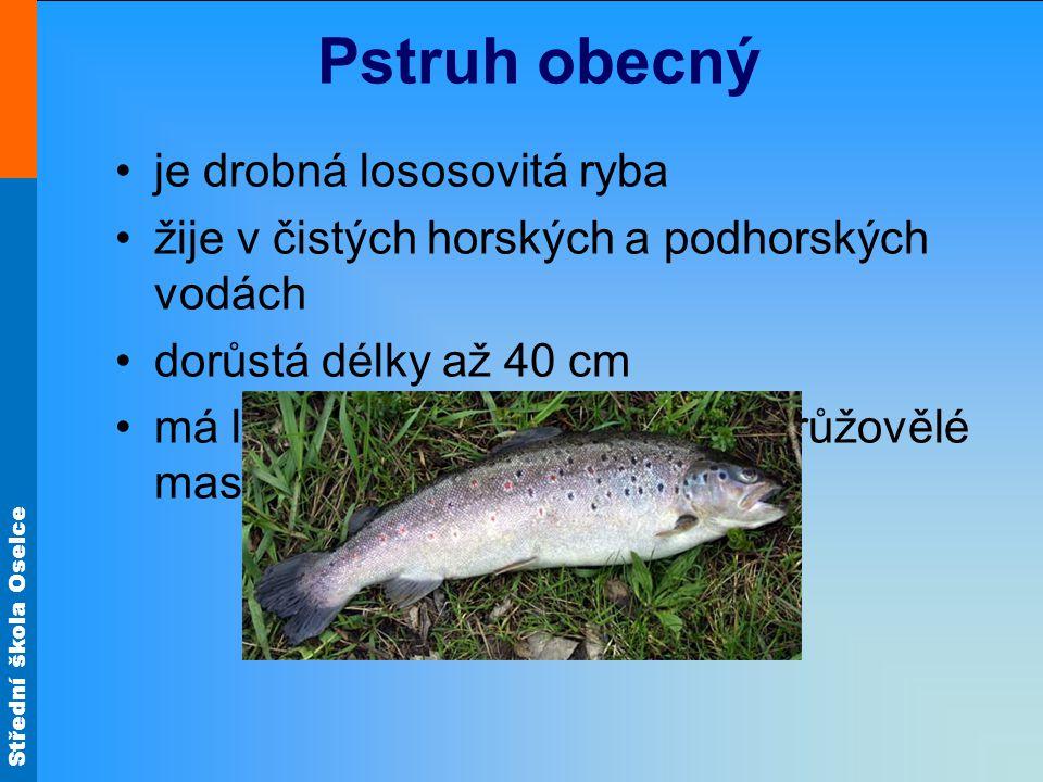 Pstruh obecný je drobná lososovitá ryba