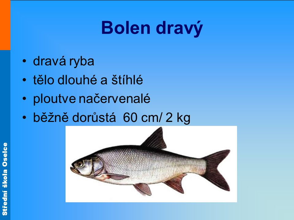 Bolen dravý dravá ryba tělo dlouhé a štíhlé ploutve načervenalé