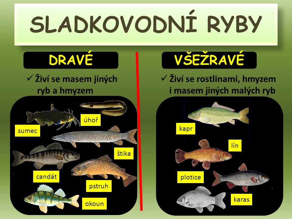 SLADKOVODNÍ RYBY DRAVÉ VŠEŽRAVÉ Živí se masem jiných ryb a hmyzem