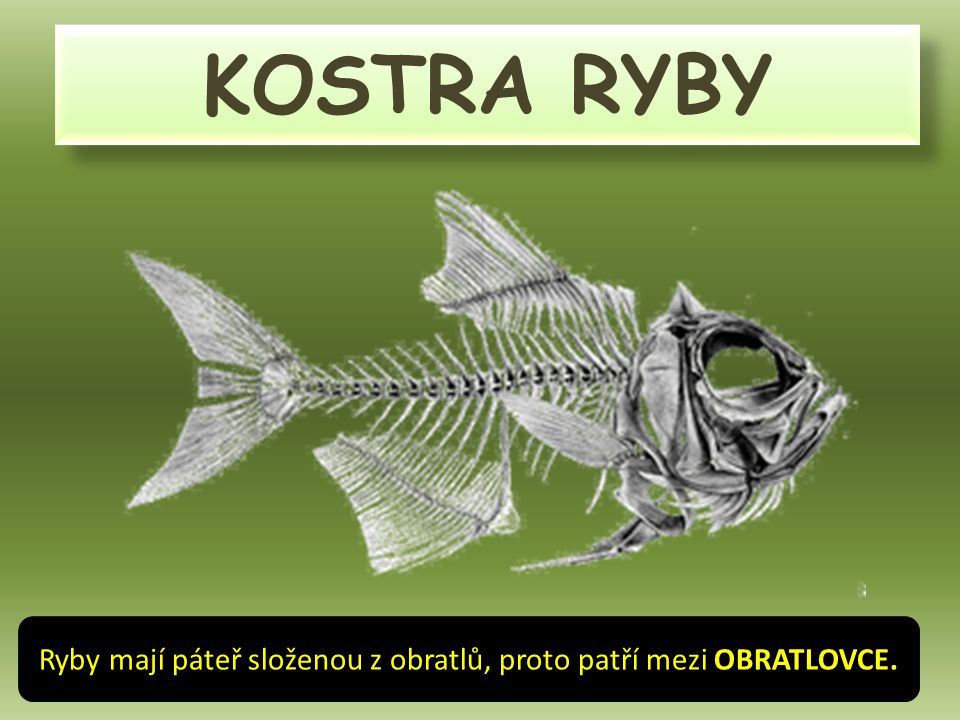 Ryby mají páteř složenou z obratlů, proto patří mezi OBRATLOVCE.