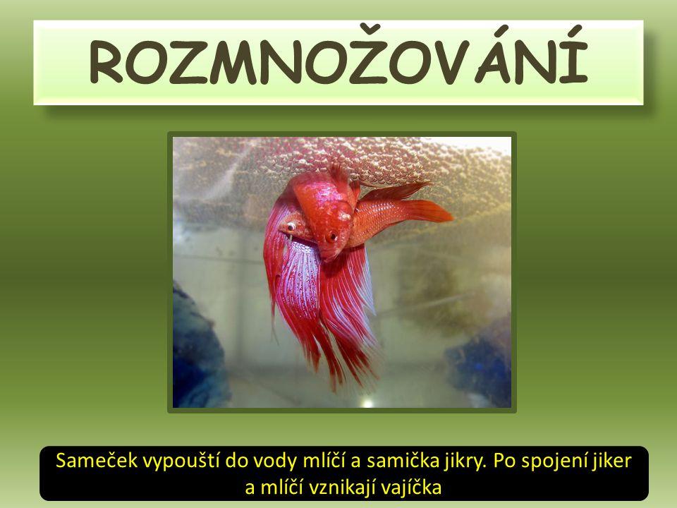ROZMNOŽOVÁNÍ Sameček vypouští do vody mlíčí a samička jikry.