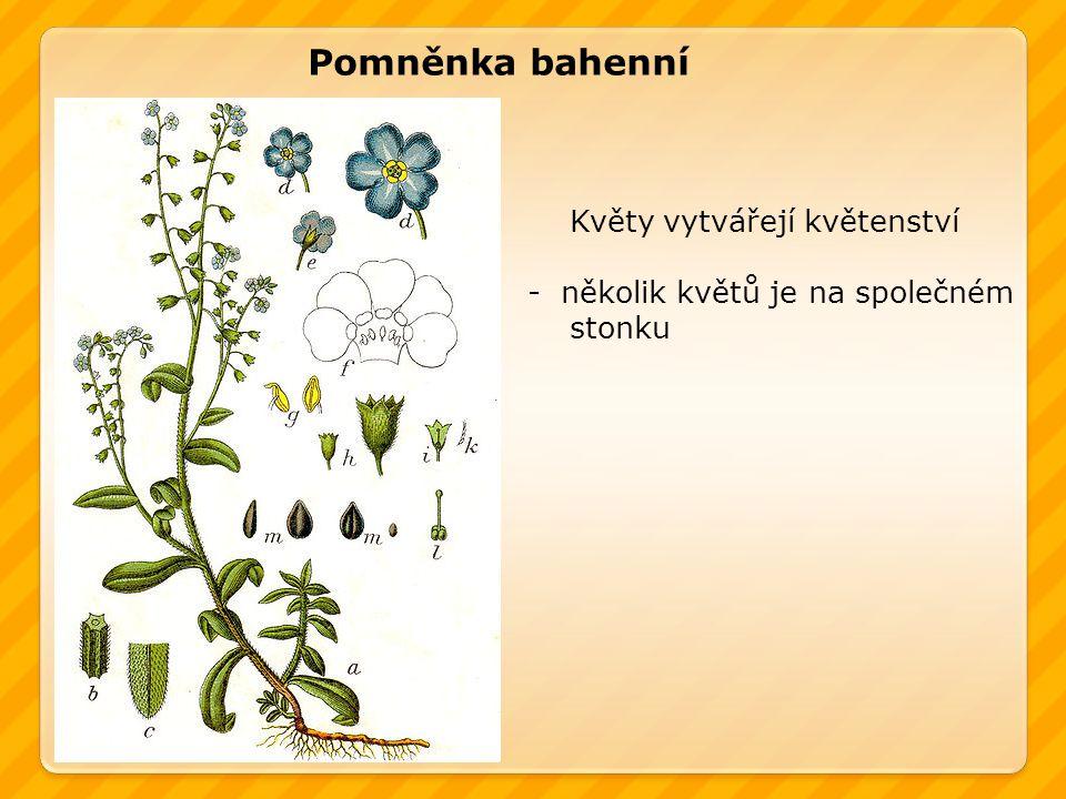Pomněnka bahenní Květy vytvářejí květenství