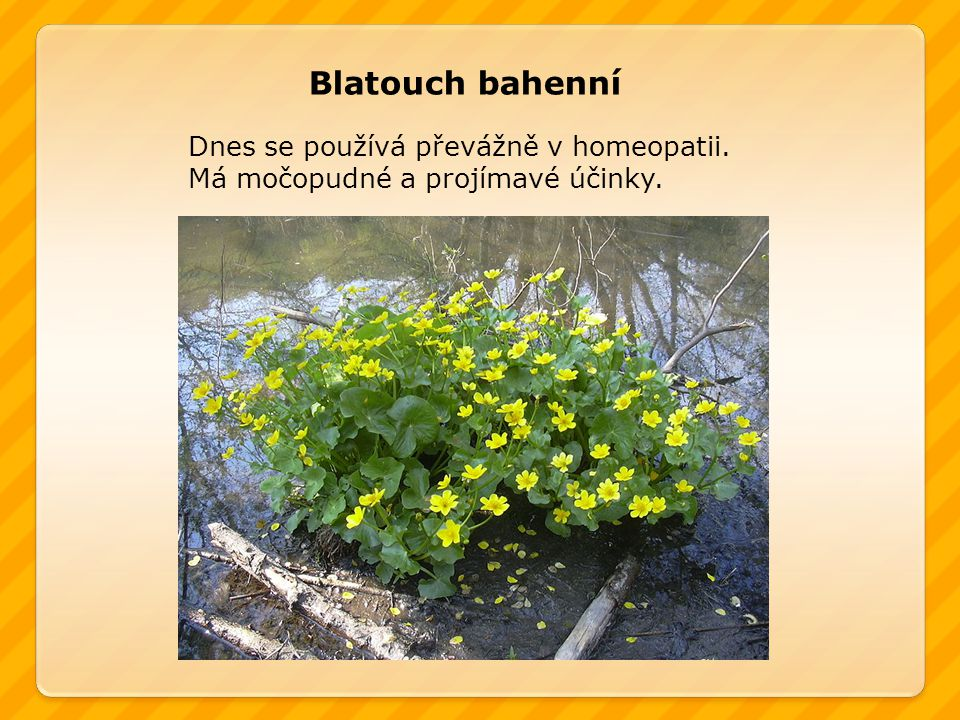 Blatouch bahenní Dnes se používá převážně v homeopatii.