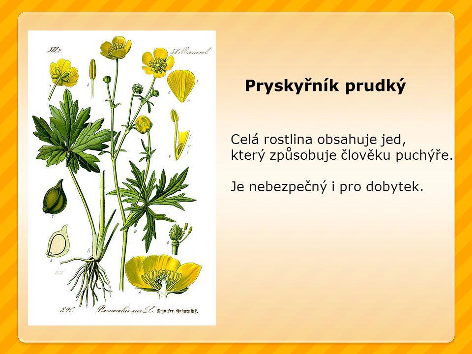 Pryskyřník prudký Celá rostlina obsahuje jed,