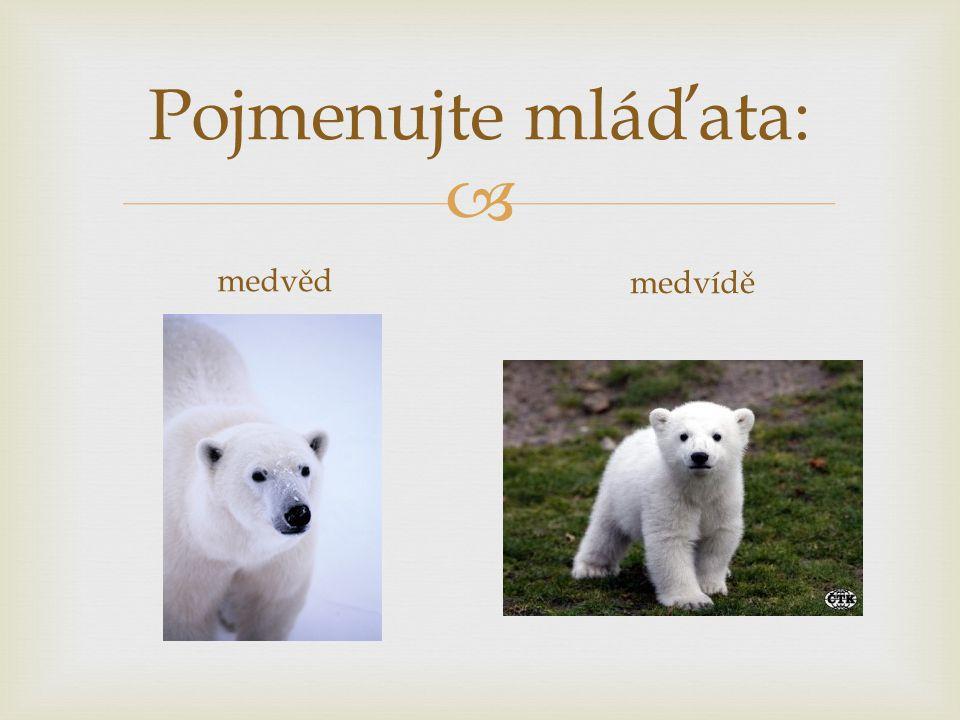 Pojmenujte mláďata: medvěd medvídě