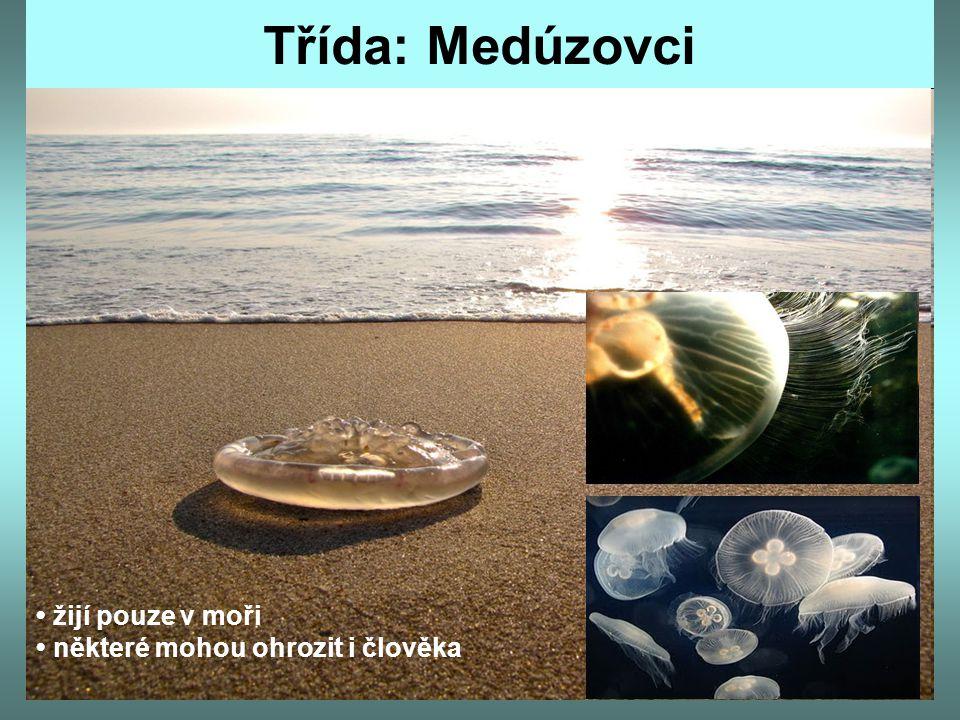 Třída: Medúzovci • žijí pouze v moři • některé mohou ohrozit i člověka